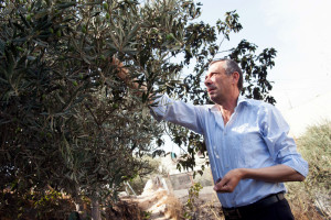 Hashem al-Azzeh harvests his family's olives directly beneath the Israeli settlement of Tel Rumeida in the West Bank city of Hebron in October 2012. Ryan Rodrick Beiler Active Stills